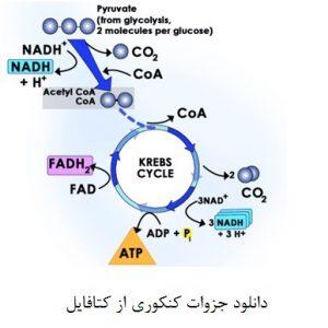 دانلود جزوه چرخه کربس (به زبان ساده) زیست شناسی