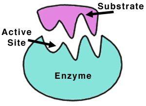 تحقیق تعریف آنزیم و انواع آنزیم ها