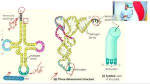 "<span itemprop=""name"">۲۰ نکته کنکوری درس پروتئین سازی چهارم تجربی</span>"