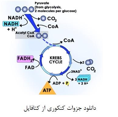 <span>دانلود جزوه چرخه کربس (به زبان ساده) زیست شناسی</span>